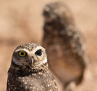 "This Burrowing owl sports a characteristic known as ""brown eye."" It's been seen in Burrowing owls in Florida, but I'm not sure how often it's been seen in the species in other regions."