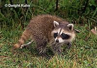 MA25-280z   Raccoon - young raccoon exploring - Procyon lotor