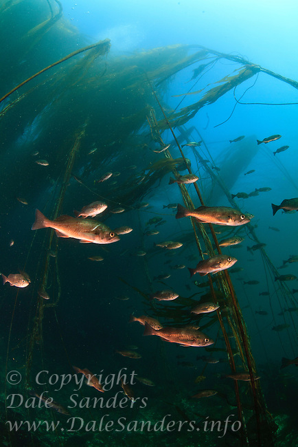 A school of Rockfish find shelter in a bull kelp forest, underwater in Browning Pass off the northeast coast of Vancouver Island, British Columbia, Canada.