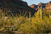 "Ocotillo cactus with saguaro, cholla and organ pipe cactus in background, Ajo Mountain Range, Organ Pipe Cactus National Monument, Arizona.  This is a scene along the backroad on the ""Ajo Mountain Drive."""