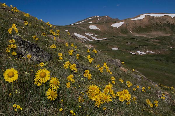 Rydbergia flower, Loveland Pass camping trip, Colorado.