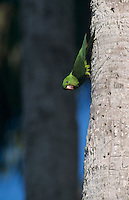 Green Parakeet, Aratinga holochlora,adult on palm tree, Brownsville, Rio Grande Valley, Texas, USA, April 2001