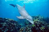 common bottlenose dolphin, Tursiops truncatus, a wild, sociable dolphin, named Honey, Belize, Caribbean Sea, Atlantic Ocean