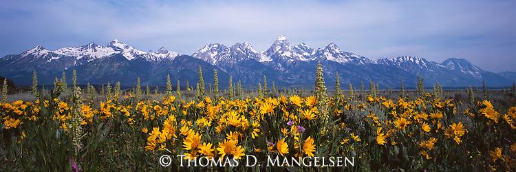 Wildflowers below the Teton Range reach the peak of their bloom in Grand Teton National Park in Wyoming.