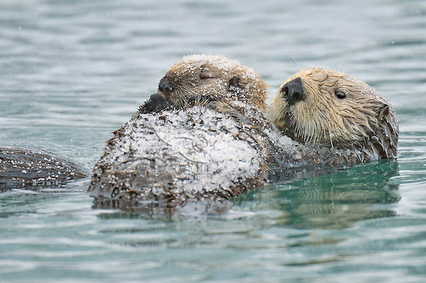 Alaskan or Northern Sea Otter (Enhydra lutris) mother with pup after snow shower.