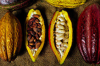 Cacao pods for Chocolate,  Kona, Big Island
