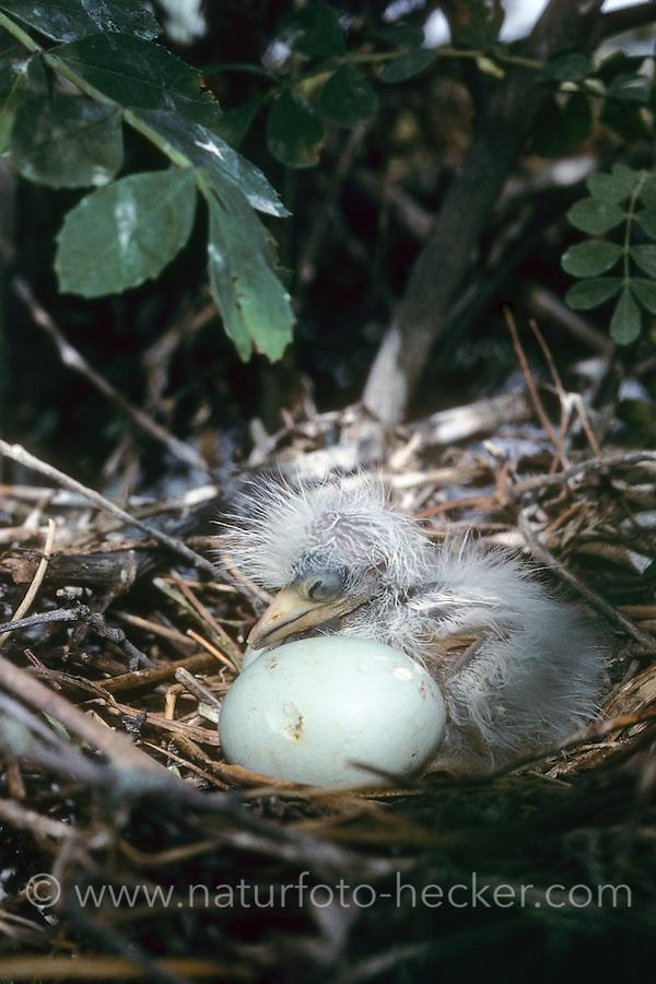 Kuhreiher, Nest mit Küken und Ei, Kuh-Reiher, Ardeola ibis, Bubulcus ibis, cattle egret, buff-backed heron