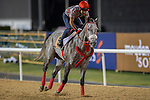MEYDAN,DUBAI-MARCH 24: X Y Jet,trained by Jorge Navarro,exercises in preparation for the Dubai Golden Shaheen at Meydan Racecourse on March 24,2016 in Meydan,Dubai (Photo by Kaz Ishida)