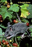 MU50-092z  Deer Mouse - immature young eating berries - Peromyscus maniculatus