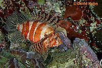 "0107-08rr  Fuzzy Dwarf Lionfish  ""Venomous Spines on Fish"" - Dendrochirus brachypterus  © David Kuhn/Dwight Kuhn Photography"