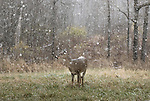 White-tailed doe standing in a meadow as the snow accumulates on her back.