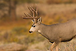 Mule deer, Odocoileus hemionus, buck, antlers, October, fall, autumn, morning, wildlife, mammal, Beaver Meadows, Rocky Mountain National Park, Colorado, USA