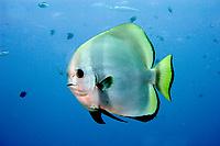 golden spadefish, platax teira