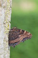 Großer Fuchs, Nymphalis polychloros, large tortoiseshell, blackleg tortoiseshell, La Grande tortue