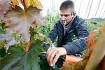 Foto: VidiPhoto<br /> <br /> RANDWIJK – Met enkele vakantiewerkers is de jonge boomkweker Roy Wennekes (foto) van RW Green uit Heteren donderdag aan het 'tangen' op zijn perceel in Randwijk (Betuwe). Met een speedotang wordt het jonge boompje met elastiek vastgemaakt aan een bamboestok om de groei te begeleiden. Boomkwekers moeten nu flink aanpoten om de enorme groei van de bomen bij te houden. Dankzij de overvloedige regenval groeien bomen, maar ook het onkruid, als kool. Vorig jaar rond deze tijd was het kurkdroog en moesten boomkwekers hun gewassen beregenen om te voorkomen dat alles dood ging. RW Green bestaat pas drie jaar en verzorgt de opkweek van 50 soorten bomen voor de grotere kwekers in de regio.