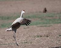 Lesser sandhill crane throwing clod