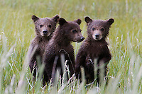"""These Alaskan brown bear (Ursus arctos middendorffi) triplet cubs stood up to have their picture taken! Not really, but they did stand to get a better look at that stranger with a long lens. Not to worry, mom was right there too. (See """"Amigos"""" in this gallery) Halo Bay, Katmai National Park"""