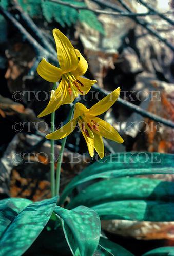 Trout Lily - Erythronium americanum, in the Upper Peninsula of Michigan.