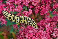 Eastern Black Swallowtail caterpillar (Papilio polyxenes asterius) on Swamp Miilkweed (Asclepias incarnata) blossoms. Summer. Nova Scotia, Canada.