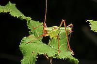 Graugrüne Säbelschrecke, Barbitistes yersini, Barbitistes dalmatinus, bushcricket, Tettigoniidae