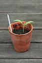 Aubergine seedling in terracotta pot.
