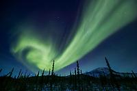 Northern lights swirl over spruce trees and the Brooks Range mountains, Arctic, Alaska.