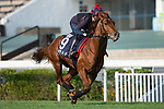 SHA TIN,HONG KONG-DECEMBER 08 : Lightning Spear,trained by David Simcock,exercises in preparation for the Hong Kong Mile at Sha Tin Racecourse on December 8,2017 in Sha Tin,New Territories,Hong Kong (Photo by Kaz Ishida/Eclipse Sportswire/Getty Images)