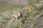 Female puma (Puma concolor) (southern subspecies Puma concolor puma) (in N. America, cougar or mountain lion) with near-adult cubs (12/13 months old). Private ranch land (Estancia Amarga) on the outskirts of Torres del Paine National Park, Patagonia, Chile.