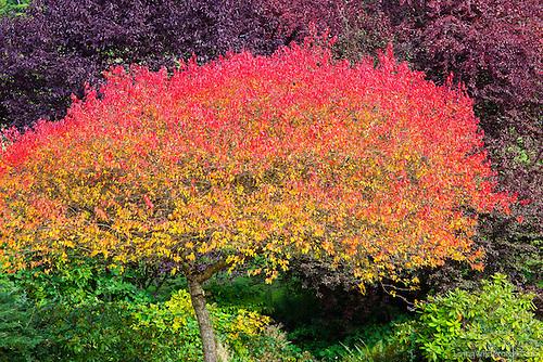 Autumn Tree Displaying Rainbow Colors, Snohomish County, Washington