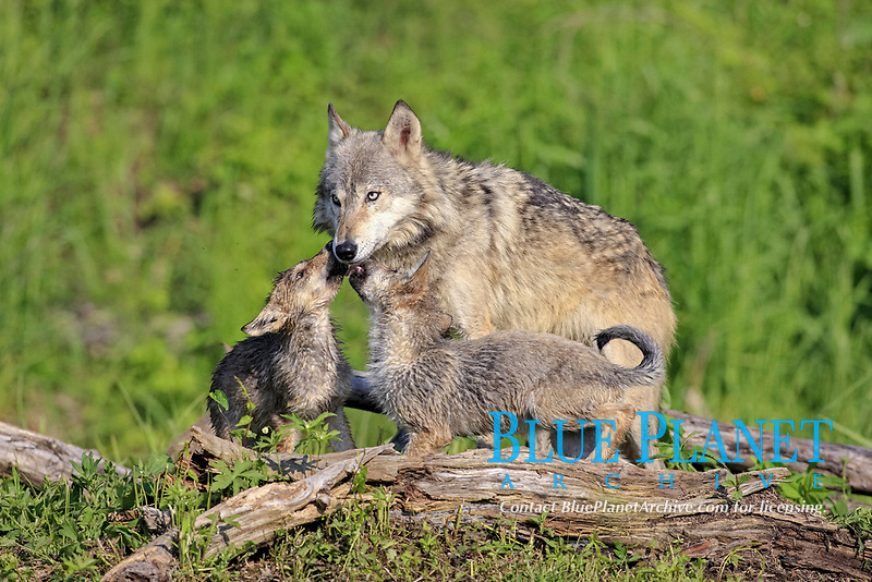 Timber Wolf (Canis lupus), adult female, with cubs begging for food, Minnesota, USA, North America