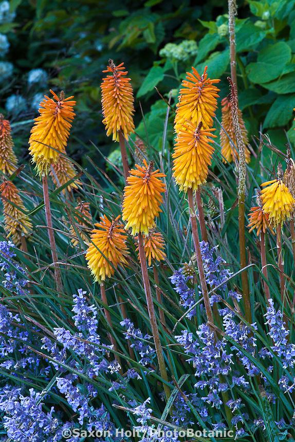 Orange Knifophia 'Bee's Sunset' flowering with blue Catnip, Nepeta in perennial border in Gary Ratway garden