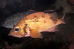 acadian redfish on deep boulder reef