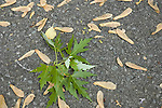 Silver Maple seeds in spring, Acer saccarinum