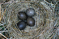 Wiesenpieper, Ei, Eier, Gelege im Nest, Wiesen-Pieper, Anthus pratensis, meadow pipit