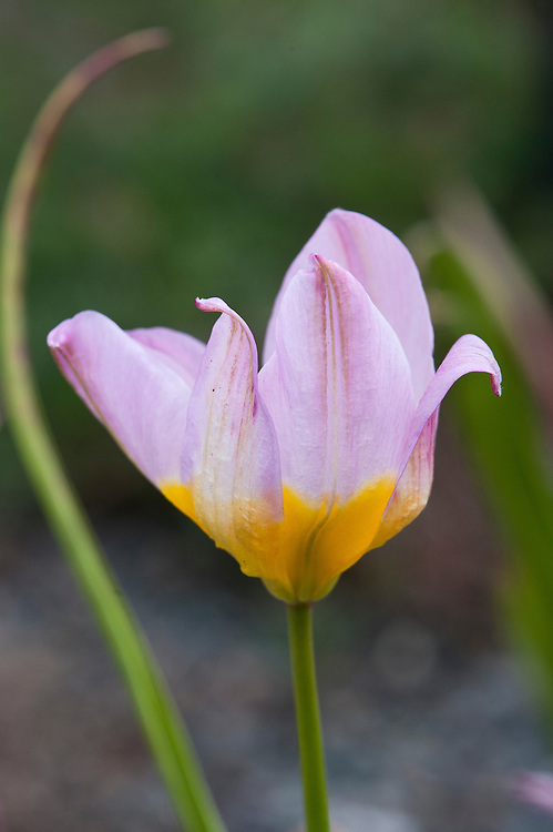 Tulipa saxatilis, early April. Native to Crete, Rhodes, and southwestern Turkey. In cultivation since the 17th century.