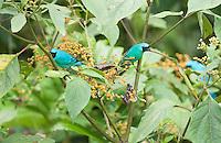 Male swallow tanagers, Tersina viridis. San Jorge de Milpe Eco-Lodge, Mindo, Ecuador