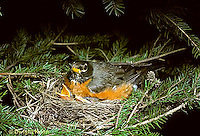 RO02-010z  RO02-010z  American Robin - sitting on young for protection - Turdus migratorius