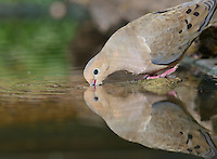Mourning Dove (Zenaida macroura), adult drinking, Hill Country, Texas, USA
