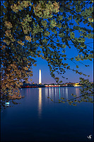 Cherry Blosssoms and the Washington Monument at nIght.