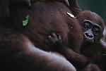 Lowland gorilla and infant, Uganda