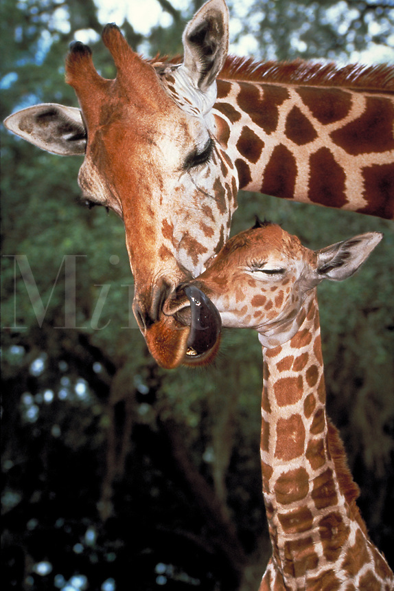 Adult female giraffe licking young. Wildlife. care.