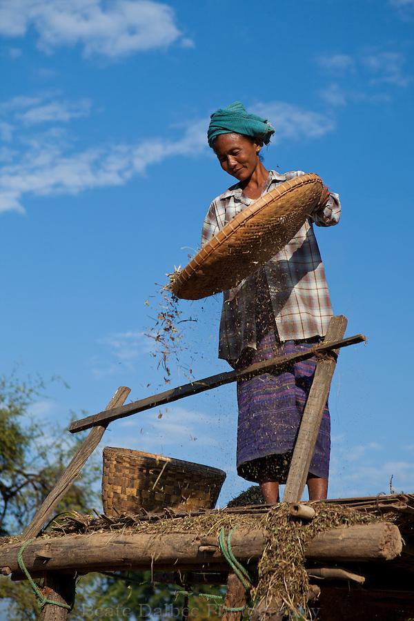 Farmers harvesting in a field in Bagan, Myanmar