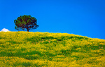 Italien, Toskana, Rapsfeld und ein einzelner Baum | Italy, Tuscany, field of rape and a single tree