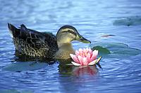 Female Mallard duck Anas platyrhynchos