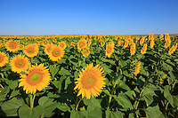 To the south of the region of Dobroga, the plain stretches out and allows for the monoculture of sunflowers. It's a godsend for the beekeepers who can easily go from the lindens to the sunflowers.