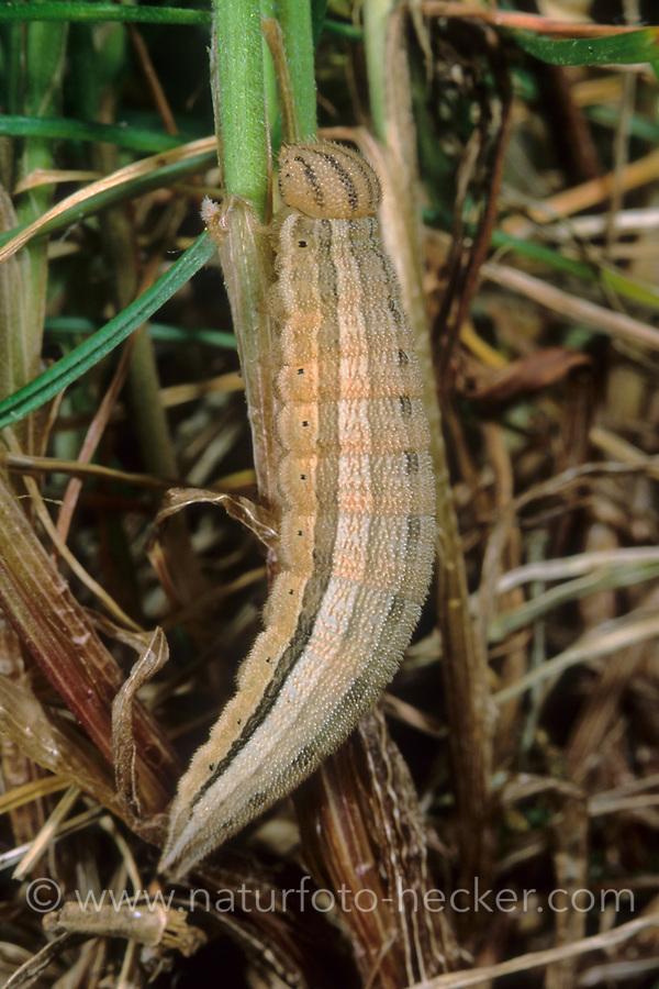 Blauäugiger Waldportier, Blaukernauge, Raupe, Minois dryas, Dryad, caterpillar, Le Grand nègre des bois, la Dryade