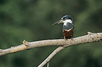Ringed Kingfisher, Ceryle torquata, female, Starr County, Rio Grande Valley, Texas, USA, May 2002