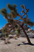 Joshua Tree (Yucca brevifolia) off the Barker Dam Trail, Joshua Tree National Park, California