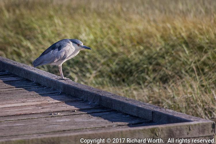 An adult Black-crowned Night-heron surveys the wetland at MLK Regional Shoreline from the observation platform at Arrowhead Marsh.