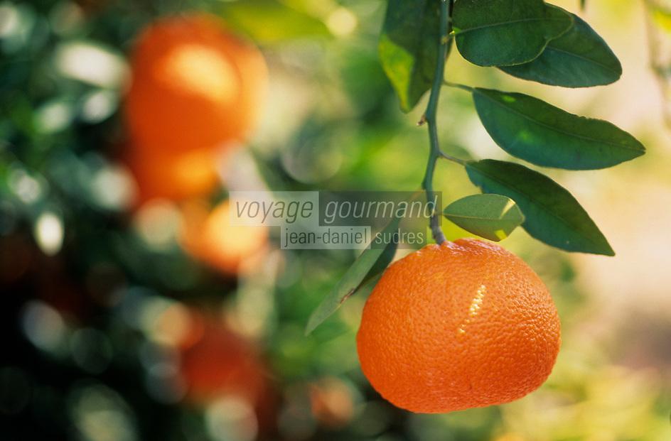 Asie/Europe/Chypre/Env de Paphos : Mandarines sur l'arbre